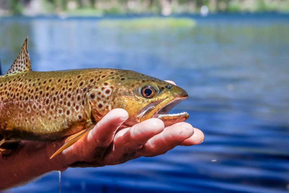 Brown trout caught fly fishing on Manzanita Lake